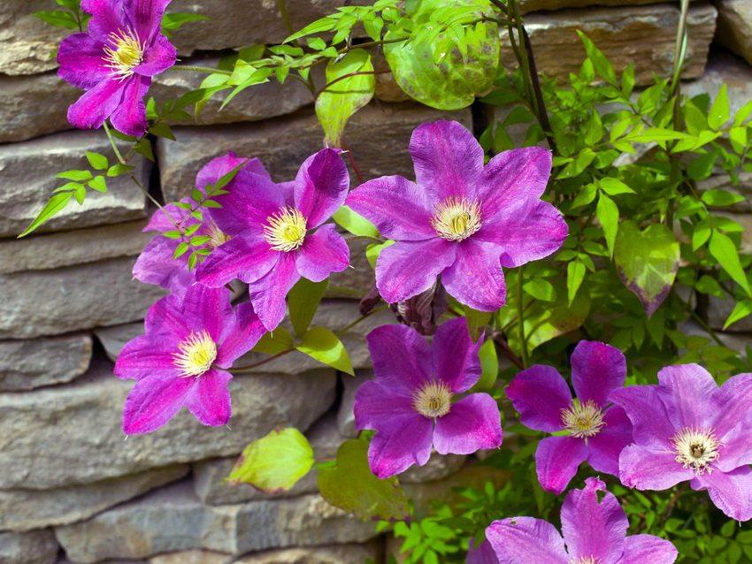 Клематис прекрасно подходит для озеленения стен