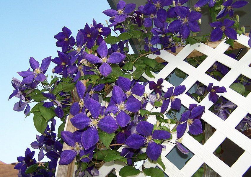 Клематис одно из самых популярных растений, используемых для вертикального озеленения
