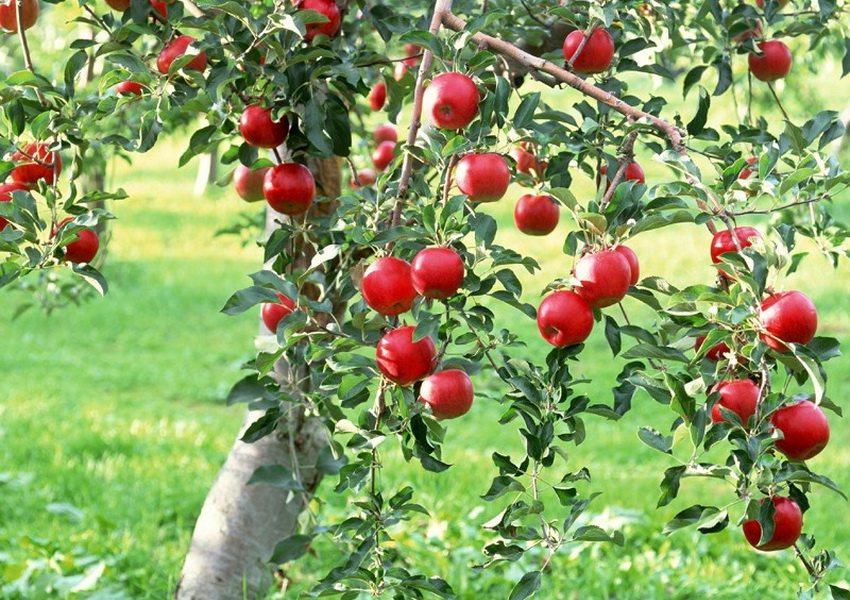 Высадка плодовых деревьев на дачном участке не только украсит его, но и принесет пользу
