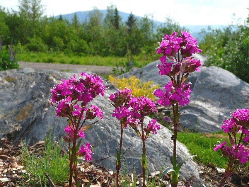 Ярко-розовые соцветия лихниса Viscaria