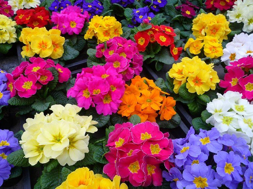 Цветки примулы могут иметь самый разнообразный окрас
