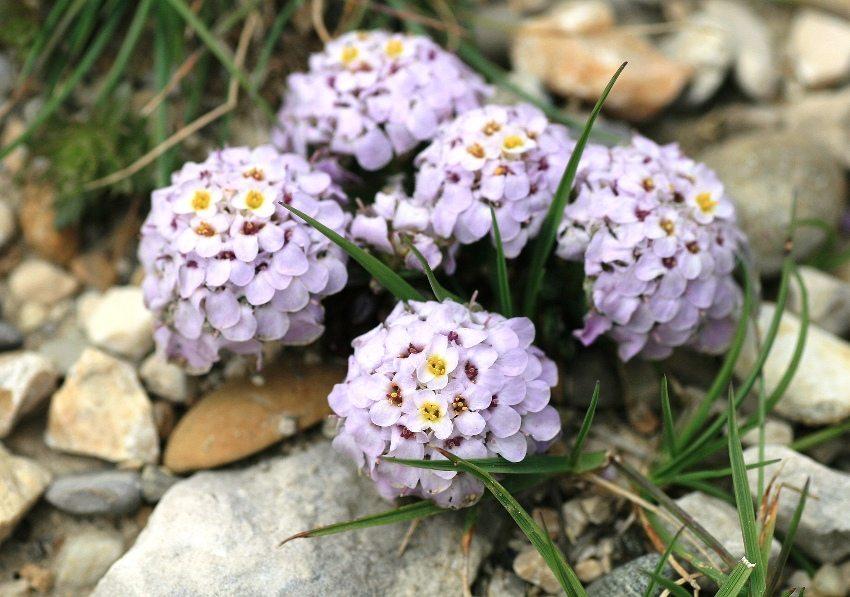 Цветы ибериса прекрасно смотрятся на альпийской горке