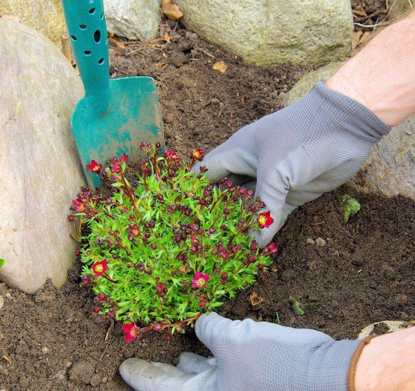 Высадка растений между камнями альпинария