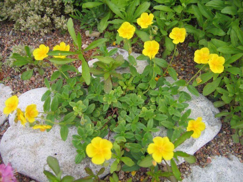 Солнцецвет с желтыми цветками и стелющимися стеблями