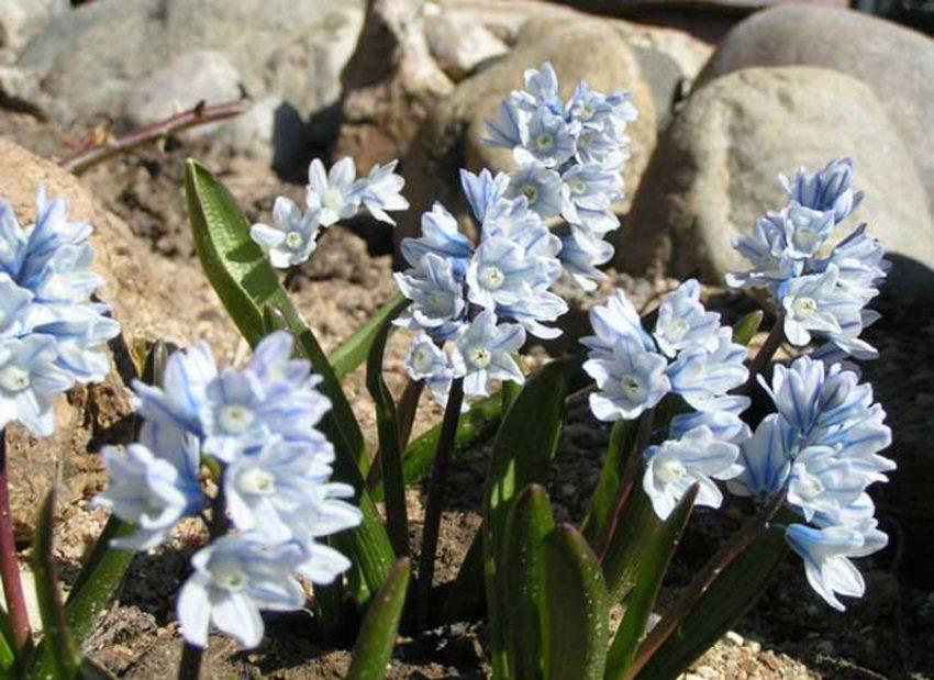 Пушкиния может иметь цветки белого или голубого цвета