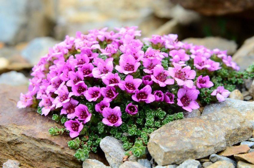 Камнеломка супротивнолистная – почвопокровное растение, отлично подходящее для оформления рокария