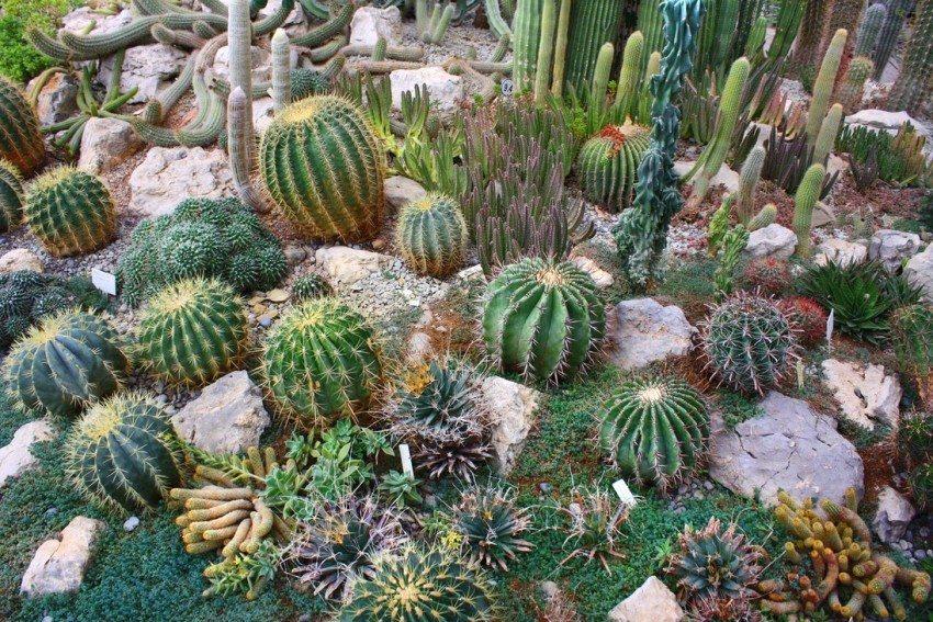 В оформлении горизонтального рокария использованы различные виды кактусов