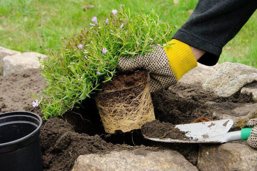 Процесс высаживания растений в рокарий