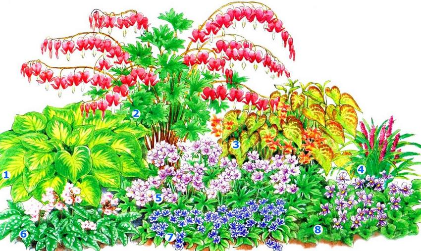 Клумба непрерывного цветения (размер цветника – 1,5 х 2 м): 1 - хоста; 2 - дицентра великолепная; 3 - эпимедиум красный; 4 - лириопе мускаревидное; 5 - герань; 6 - медуница белоцветковая; 7 - пупочник весенний; 8 - фиалка