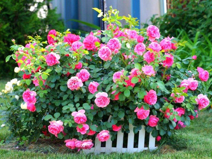 Цветник из роз во дворе частного дома