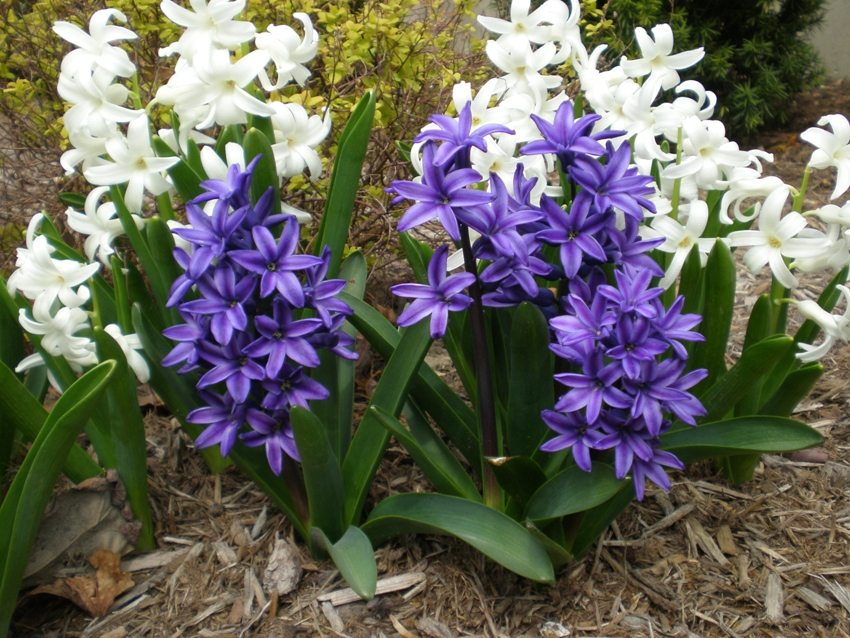 First time after planting hyacinths need to be watered abundantly