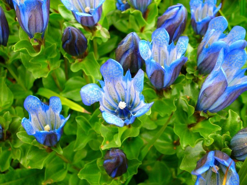 Gentian flowers have the shape of bells