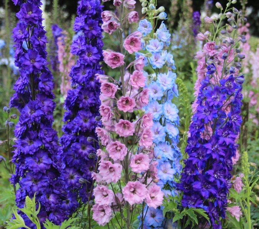 Delphinium - water-loving flower