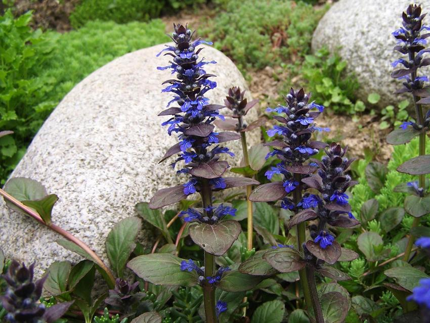 The creeping creeper can be planted on rockeries and stone slopes