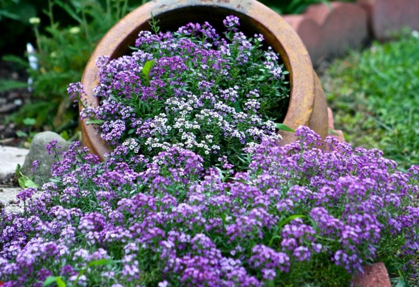 Alyssum - unpretentious flower, settling in the dry soil