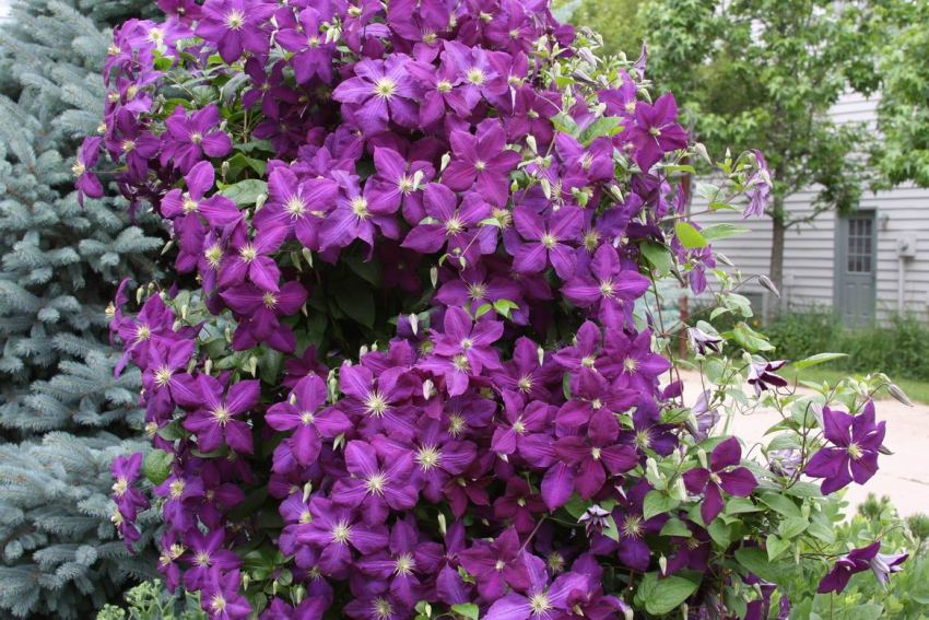 Clematis has a long flowering period