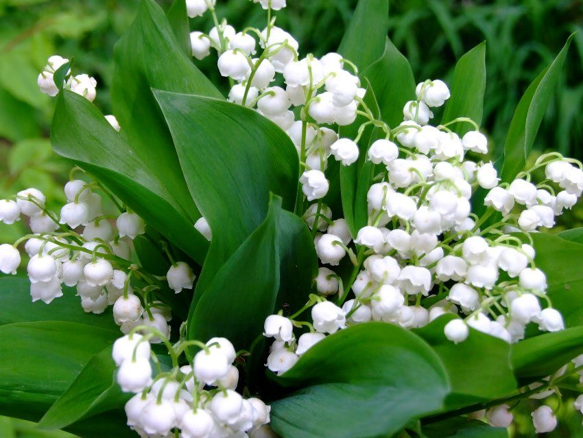 Lily of the valley flowers have a pleasant persistent aroma