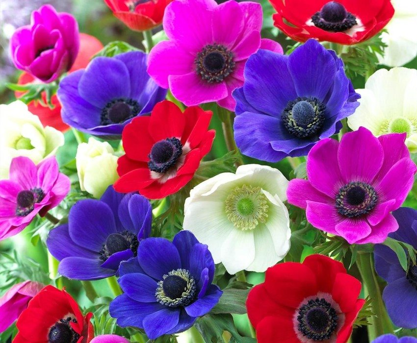 Bright flowers of anemones decorate any flower bed