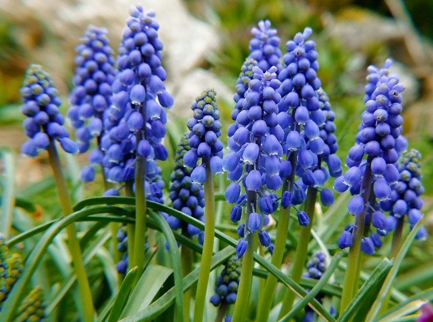 Muscari reproduce by bulbs or self-seeding