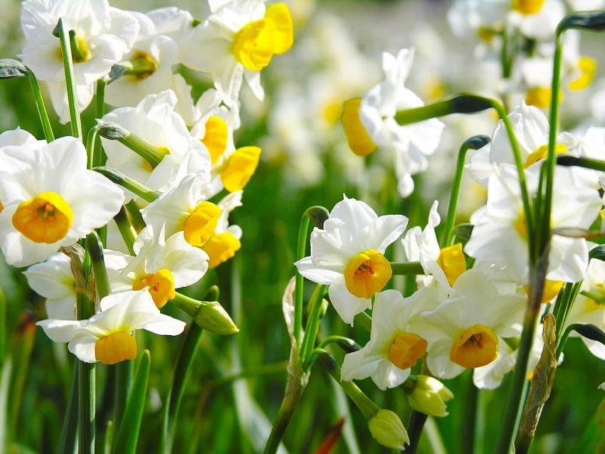 There are a lot of varieties and varieties of daffodils