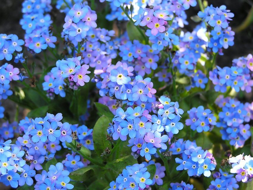 Forget-me-nots bloom in small blue and blue colors