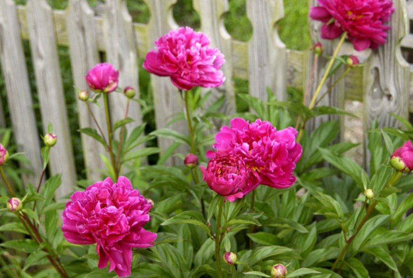 Peonies grow luxuriant bushes with large flowers