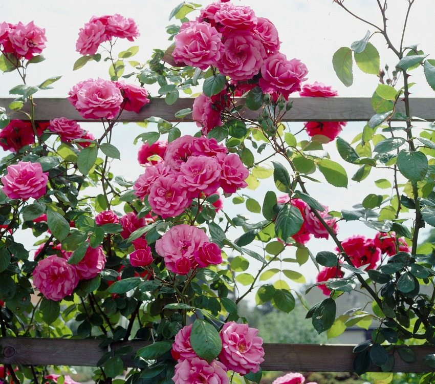 A climbing rose is planted near fences, pergolas or arches