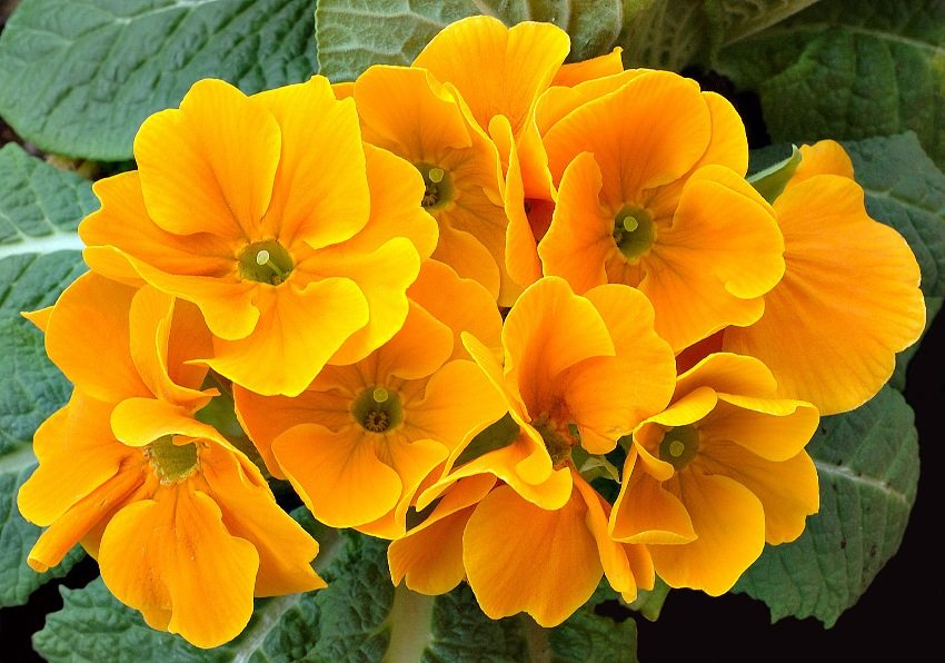 Primula - one of the most early-budding perennials