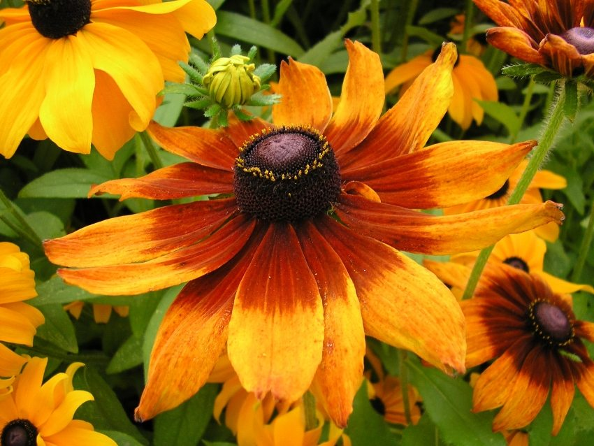 Rudbeckia can grow in one place without a transplant until 5 years