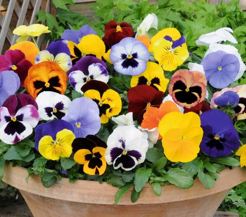 Pansies have a bright colorful coloring