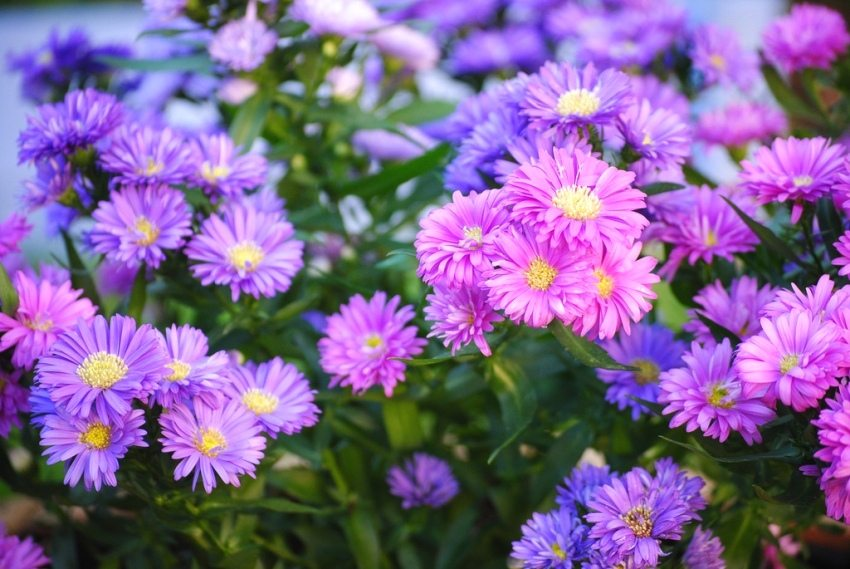 Flowers asters can have a wide variety of shades