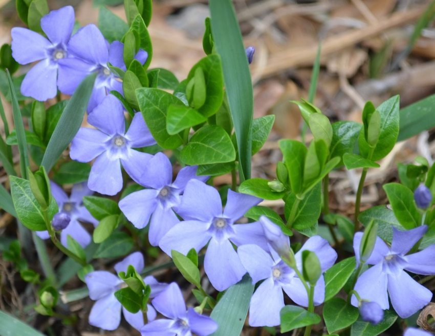 The shoots of the periwinkle spread along the ground and expand in breadth