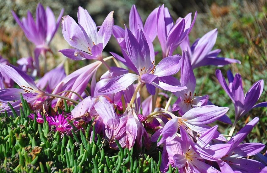 Colchicum (colchicum) looks like flowers of crocuses