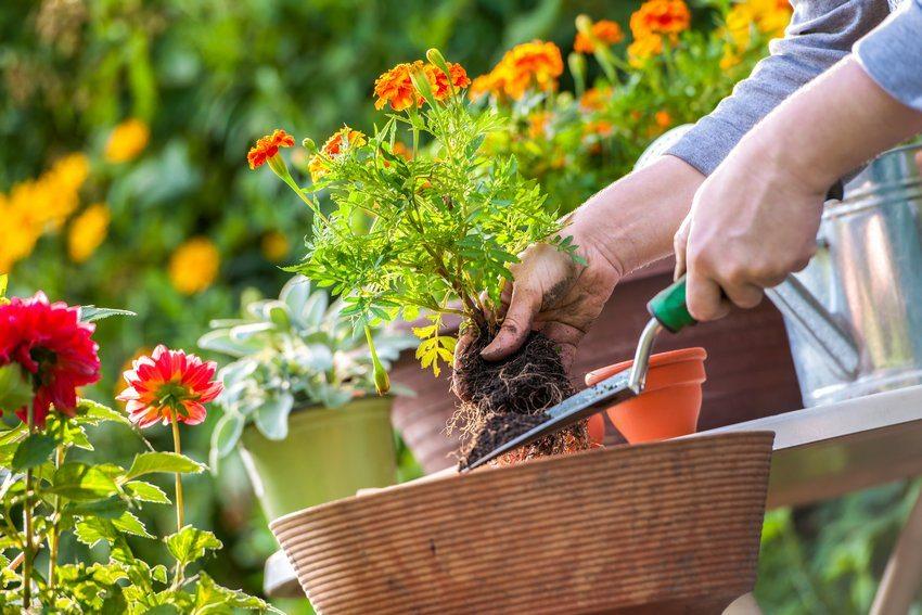 Этап 1. Полейте рассаду водой, чтобы почва напиталась влагой. Через 15 минут извлеките растение из горшка, стараясь не повредить корневую систему