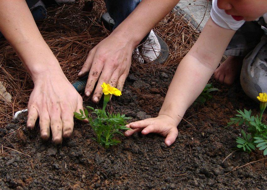 Этап 3. Свободное место вокруг корневой системы засыпьте землей и слегка утрамбуйте. Помните, что первое время после посадки растения нуждаются в более частом поливе