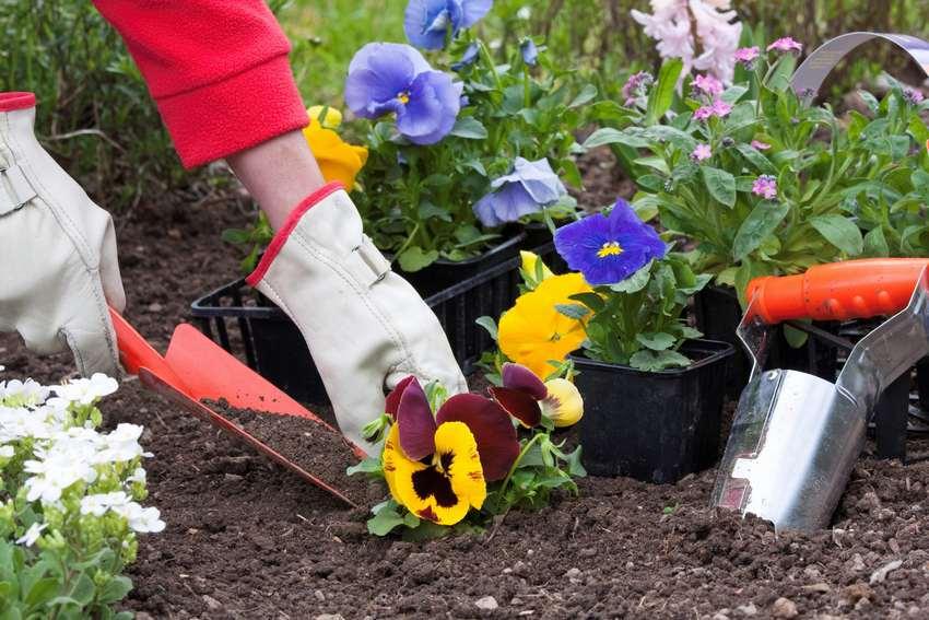 Этап 2. Для каждого растения подготовьте лунки. Цветок должен располагаться в лунке таким образом, чтобы края земляного кома были на одном уровне с поверхностью почвы