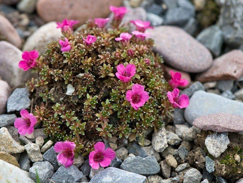 Низкорослые сорта цветов отлично подойдут для оформления альпийской горки или рокария