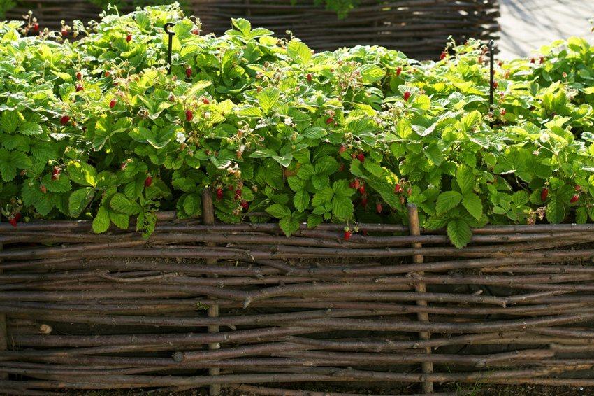 В клумбе с ограждением из прутьев посажены кусты земляники
