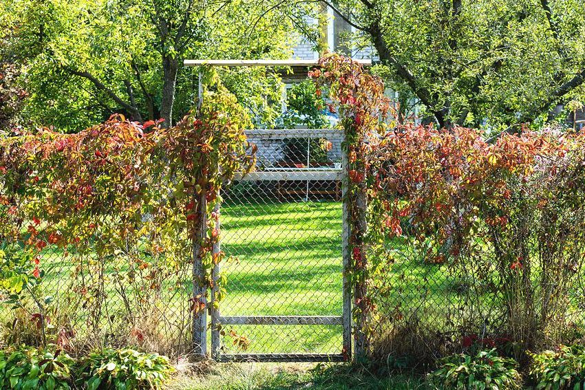 Изящную и легкую изгородь из сетки рабицы украшают вьющиеся растения