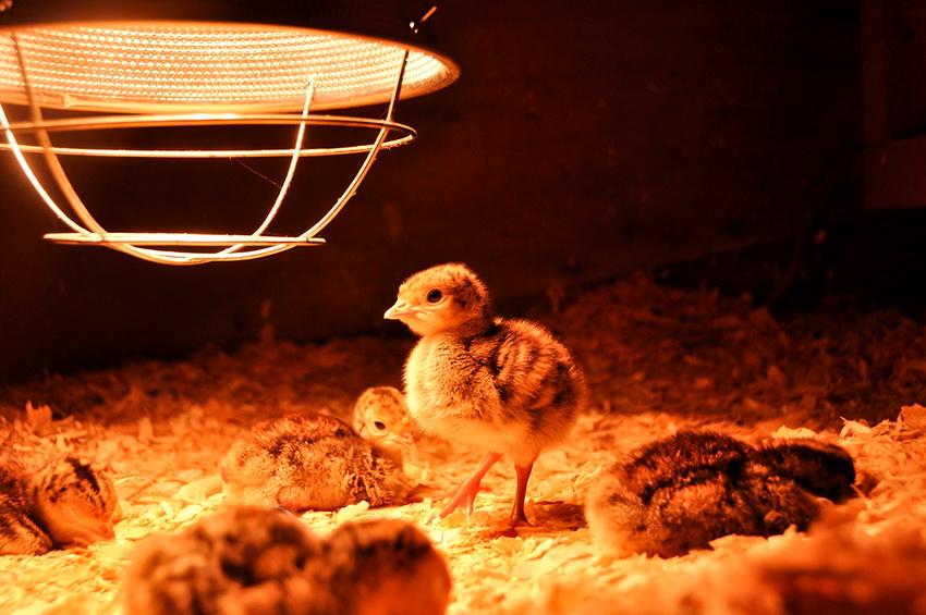 Инфракрасная лампа для курятника поддерживает оптимальную температуру в зимнее время