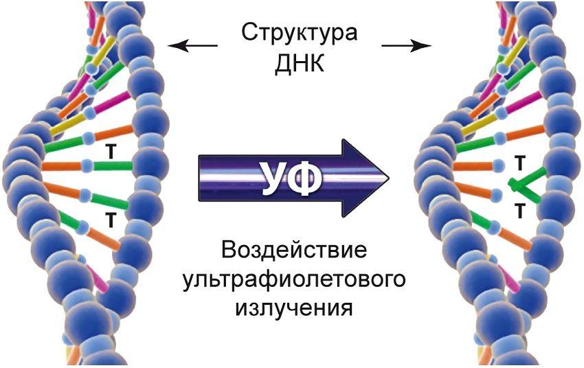 Ультрафиолетовое излучение губительно действует на вирусы и другие микроорганизмы, разрушая их структуру ДНК