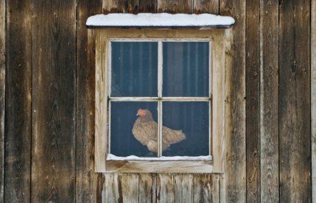 Зимний курятник своими руками на 20 кур: особенности и советы по изготовлению