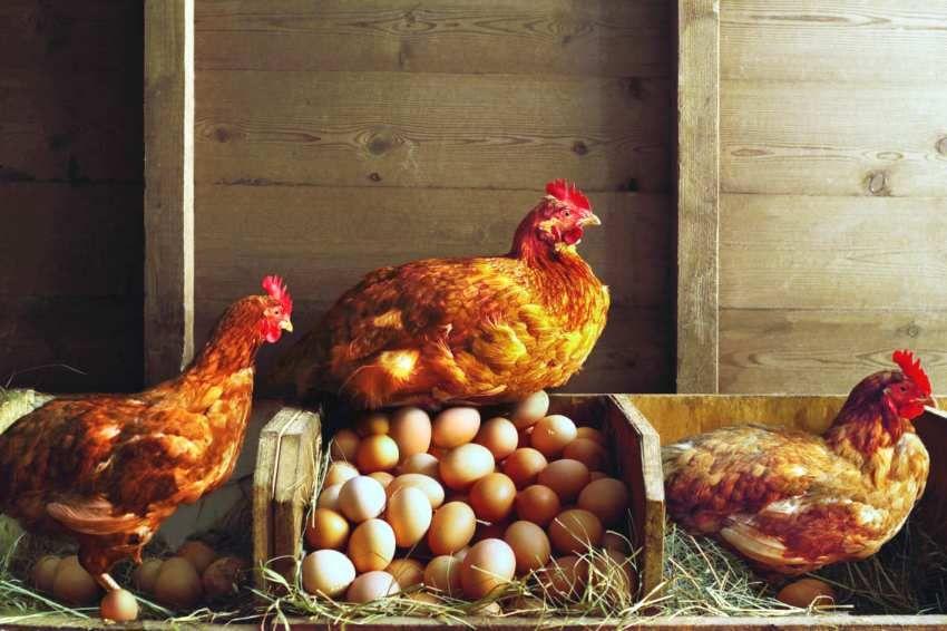 Внутри курятника необходимо поддерживать оптимальный для проживания птицы микроклимат