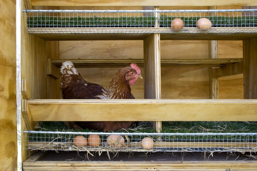 Один из вариантов гнезда для несушек с сетчатым полом и яйцесборником
