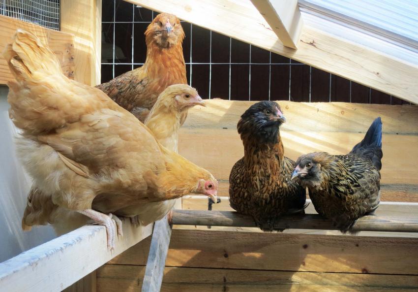 Обустройство насеста является одним из самых важных этапов при строительстве птичника