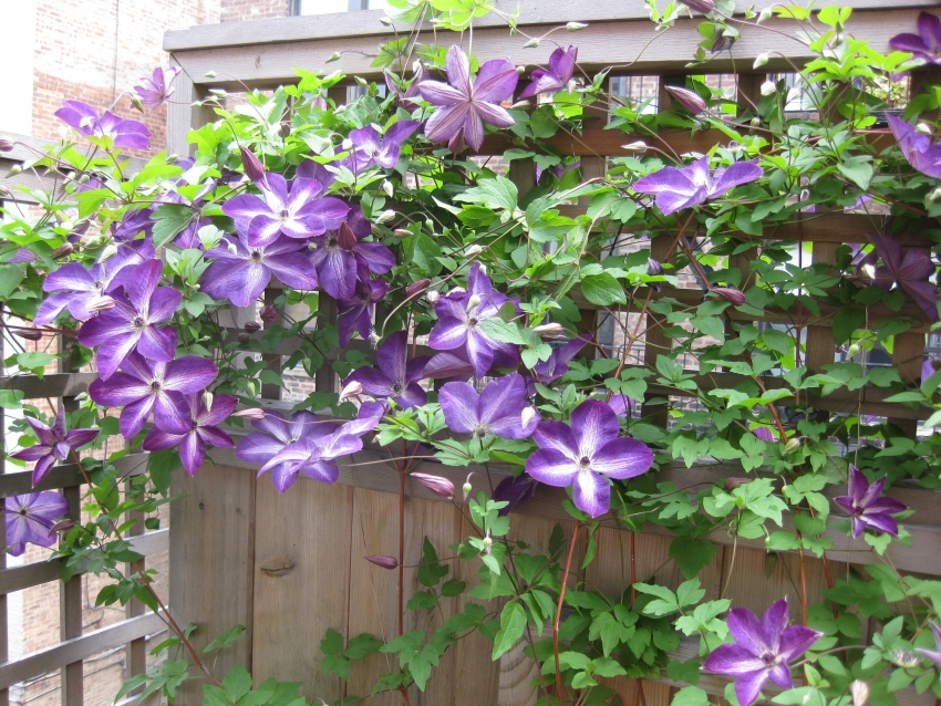Clematis is great for fencing on a country plot