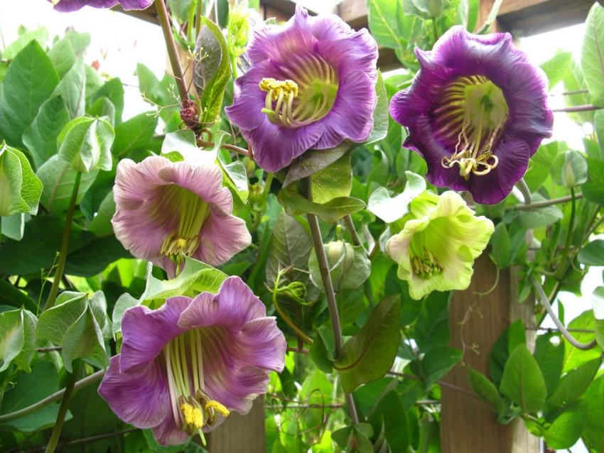 Цветки кобеи лазающей могут достигать 8 см в диаметре