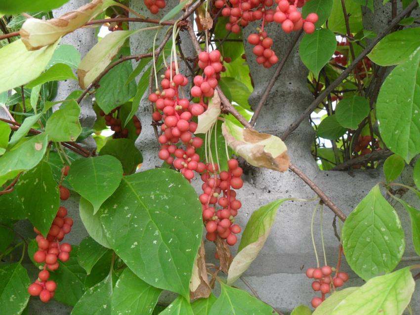 Китайский лимонник плодоносит гроздьями мелких красных ягод