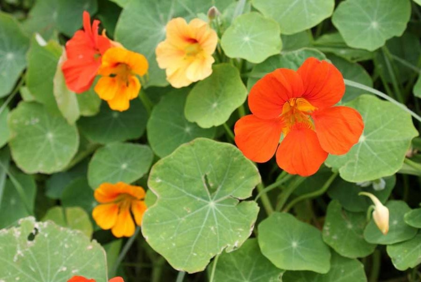 Nasturtium likes sunny areas or partial shade