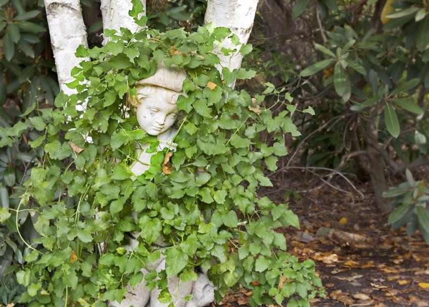 Плющ садовый является непривередливым растением и не требует специфического ухода
